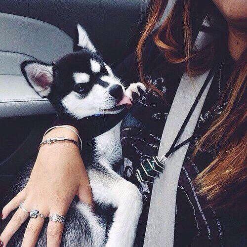 Husky puppy                                                                                                                                                                                 Más