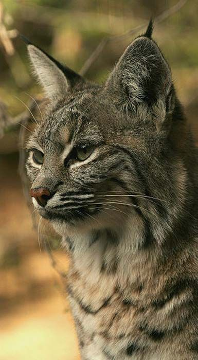 The bobcat features in Native American mythology and the folklore of European settlers.