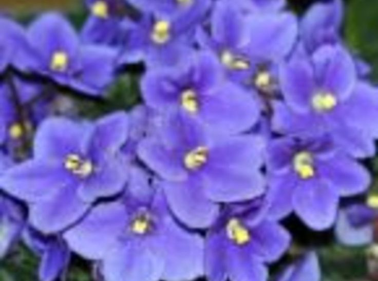 Violet cough syrup Violets have been used to improve acne, anger, asthma, bronchitis, colds, eczema, fever, fibrocystic breast disease, grief, headache, heartbreak, lymphatic congestion, mastitis, mumps, psoriasis, scurvy, sore throat, ulcers, urinary tract infection, varicose veins, and whooping cough.