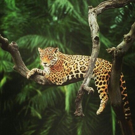 Jaguar in the Amazon Rainforest, Brazil. Could branch towards animal print for advertising?