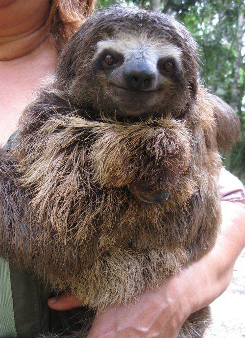 Brazilian Three Toed Sloth | UA Brazil Sciences 2010: Cocoa Research Center
