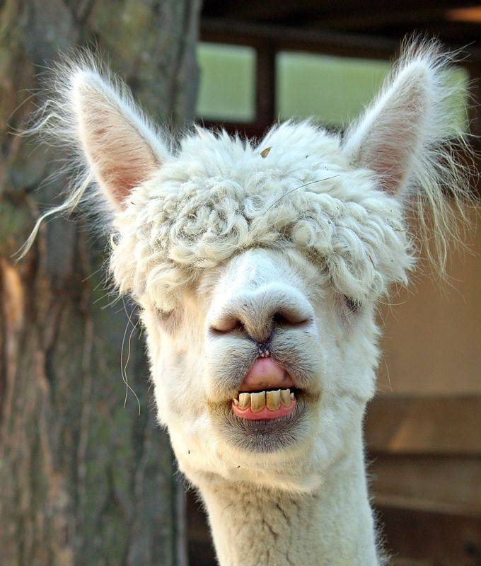 u say my teeth r weird ? I can't see shit!! | Alpaca love ...