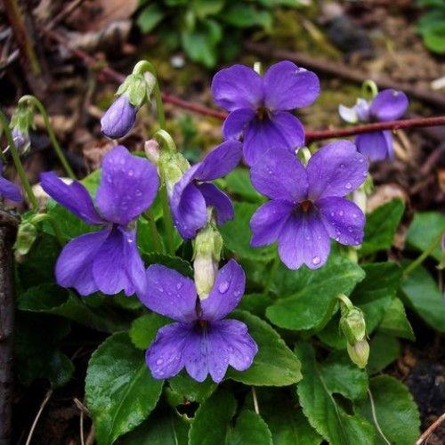 Bos-viooltjes (Rivinus-viooltjes) Bloemetjes zijn neutraal, lekker fris, iets zoet.Het Bosviooltje of Bleeksporig Bosviooltje heet officieel: Viola riviniana en wordt ook wel 'Rivinus'-viooltje genoemd.
