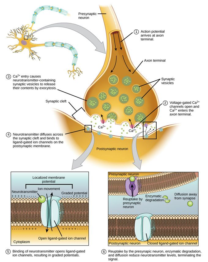 Read more about synaptic transmission in the Boundless open textbook.