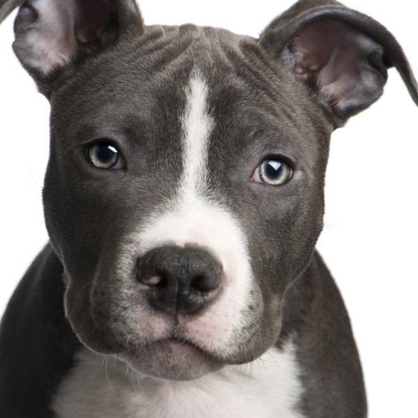 perros pitbull cachorros blancos - Buscar con Google
