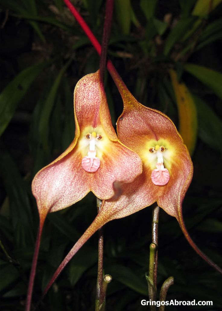 If you haven't seen this before, you might think that the monkey faced orchid is a joke. But it is real. This orchid actually grows like this – this photo hasn't been doctored in any way.  Learn About Ecuador's Orchids (Number of Species, Where to Find Them...) | Latin Roots Travel (Ecuador)