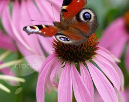 Echinacea purpurea - Plants - gardenersworld.com