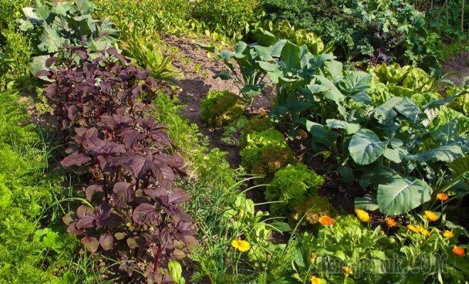 Севооборот на грядке: сажаем овощные культуры по-умному+примеры
