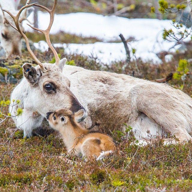Reindeer calfs are the cutest, Finland Photo by @exploreinari