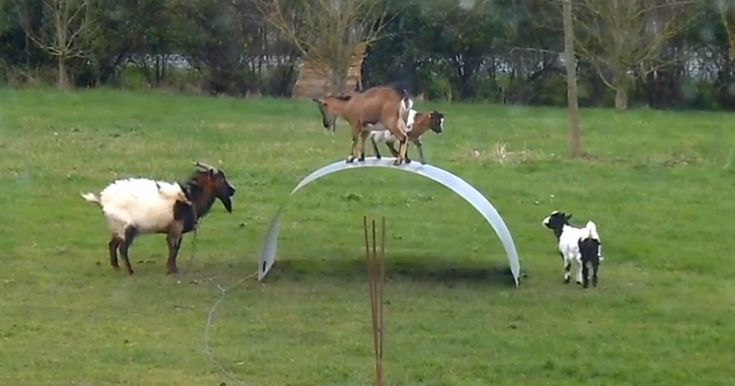 Goats having fun balancing on a flexible steel ribbon::A trio of energetic goats attempt to balance themselves on a thin steel ribbon in their backyard playground. While a more mature goat watches them (secretly wishing to play), these little guys have too much fun knocking each other off their new toy!