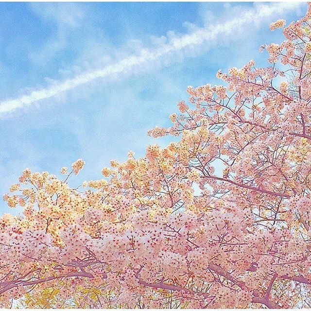 【yu_____819】さんのInstagramをピンしています。 《. 🌸✈☁️ . #まみ #お泊まり #ピクニック #桜 #満開 #空 #飛行機雲 #春 #福岡市動植物園 #お花見 #MAMI #pajamaparty #picnic #cherryblossom #sky #0401 #0402 #springvacation #love》