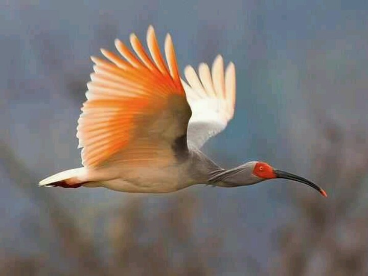 Asian Crested Ibis | Cool Advice | Pinterest