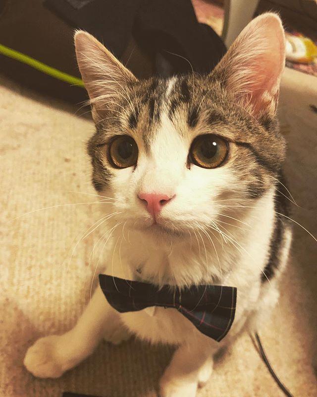 チロたんへのXmasプレゼント♡ シャツ襟×蝶ネクタイꉂꉂ(ᵔᗜᵔ*) これ3000円弱したのにほんと一瞬でリボン取られた、、しかも家中超探してるのに何故か行方不明。。 チロどこやったの、、₍₍ (̨̡ ‾᷄⌂‾᷅)̧̢ ₎₎ #チロたん #愛猫 #クリスマスプレゼント #一瞬にして破壊された #ありがた迷惑なプレゼント #でもかわいい