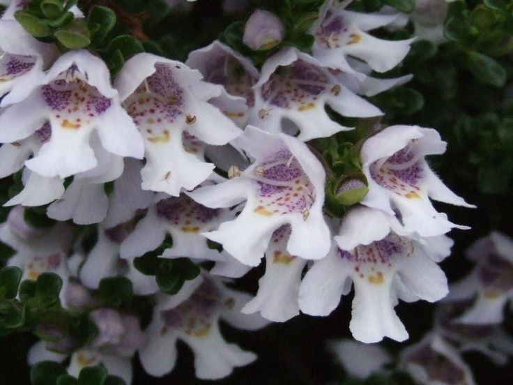 Alpine Mint Bush (Prostanthera cuneata) Native to south-eastern Australia. A bushy evergreen shrub with a compact habit, growing to 90cm in height and width.