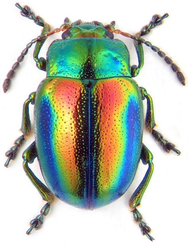 Bug inspiration  --chrysolina fastuosa male Top seres coloridos   Curiosidades