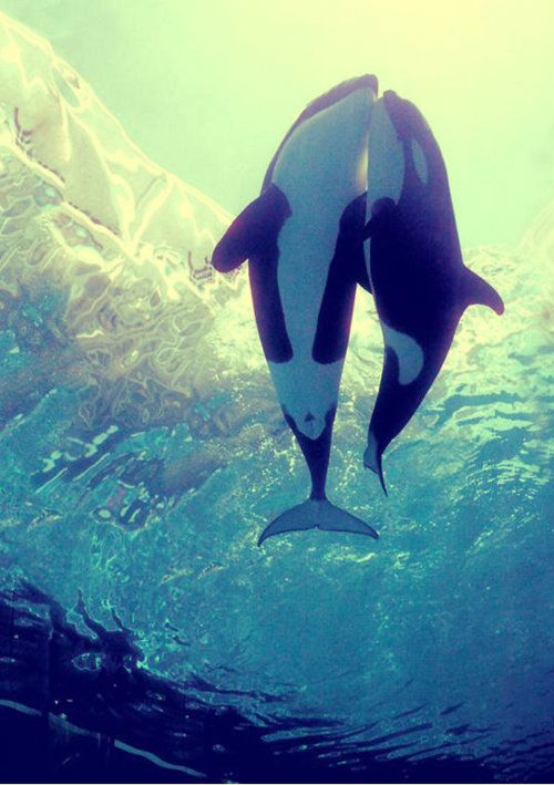Killer Whales: Orca Whales, Animals, Sea Life, Orcas, Killer Whales, Favorite Animal, Ocean