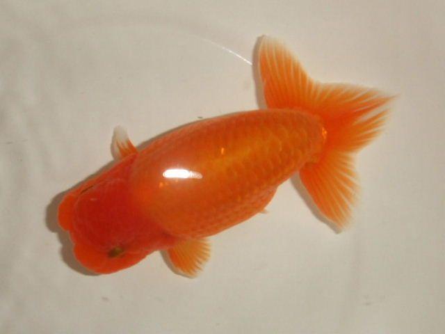 らんちゅう番号:F-13【らんちゅう2歳魚オス】 約13cm 商品詳細 【らんちゅうワールドとしちゃん】良いらんちゅうの販売・飼育のご相談なら