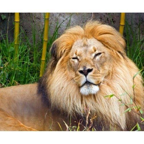 Tablou pe panza luminos- Leu african - Unic in Romania - PROMOTIE