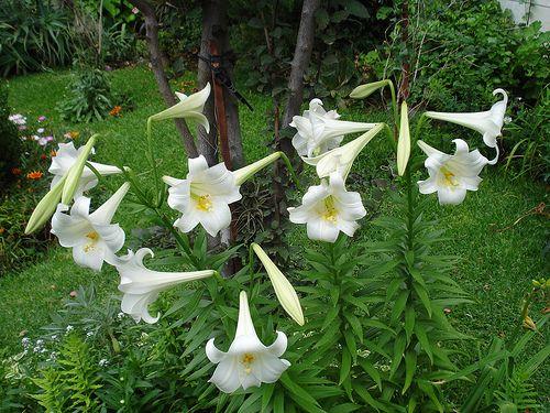 232 mejores im genes sobre flores blancas en pinterest for Azucena plantas jardin