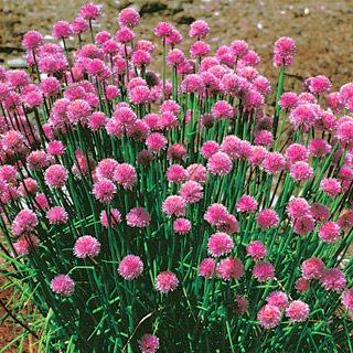 Chive flower heads can be used to add a mild onion flavor and a splash of pink to salads. parkseed.com