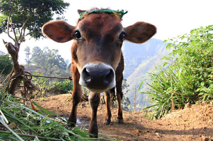 holy cow in Nuwara Elia, Sri Lanka