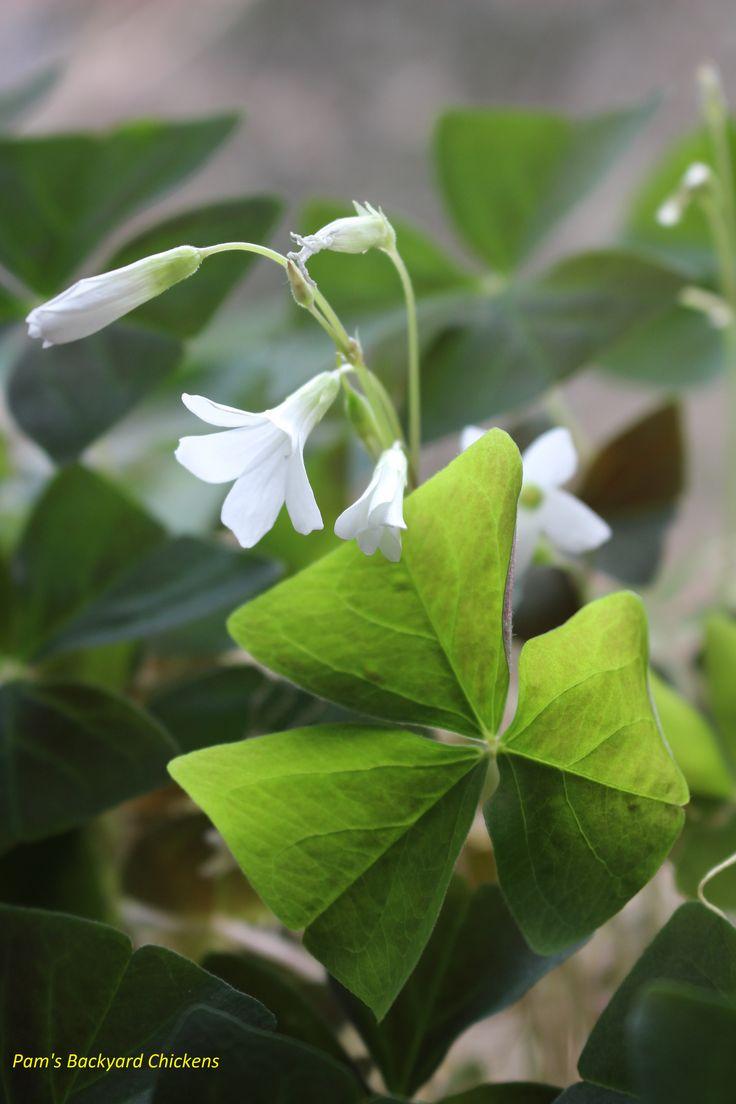 best 25 shamrock plant ideas on pinterest purple shamrock