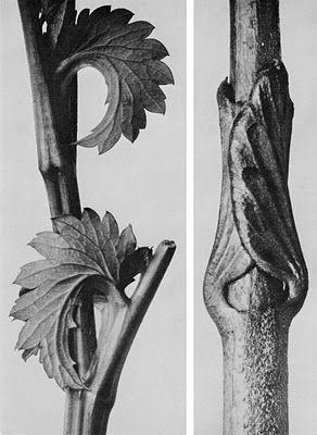 patterns in nature- Karl Blossfeldt (1865-1932) botanical fine art photographer -