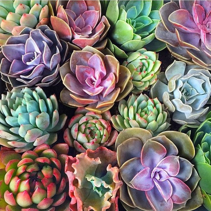 how to get colorful succulents