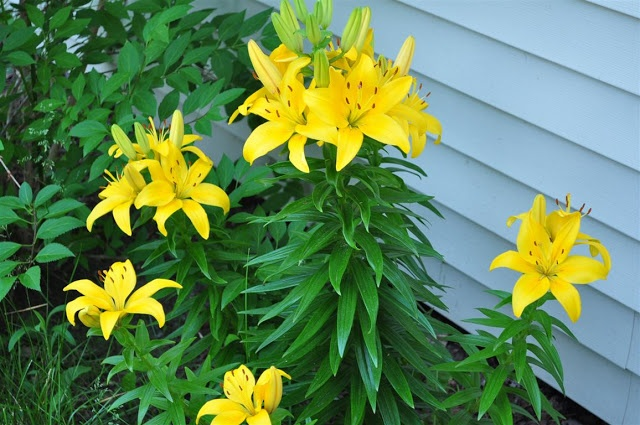 Asian lilies - yellow