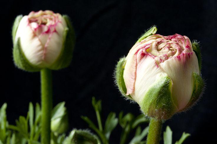 buds starting flowering