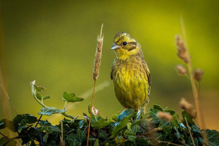 Naturbilder Top-10: Goldammer