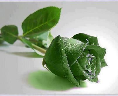 Wow! Awesome Rare green Rose! ♥ Share if you like it! | Most Beautiful Pages