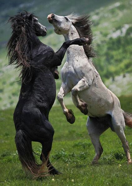 Horses play fighting