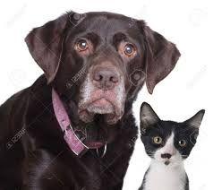 Afbeeldingsresultaat voor kruising labrador mechelaar
