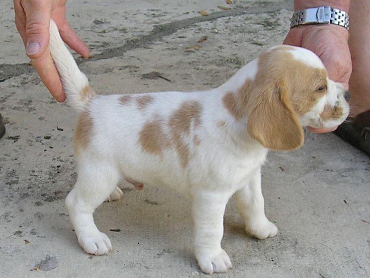 Lemon Beagle Puppy.