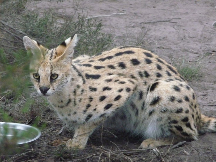 Serval, South Africa