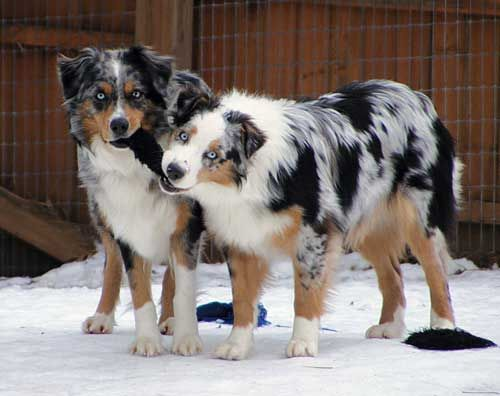The Aussie Weekly #20 — The Weekly Special Feature for Australian Shepherd Lovers — Photo: Denise Robbins, Aussie: Misty Blue and Pachee