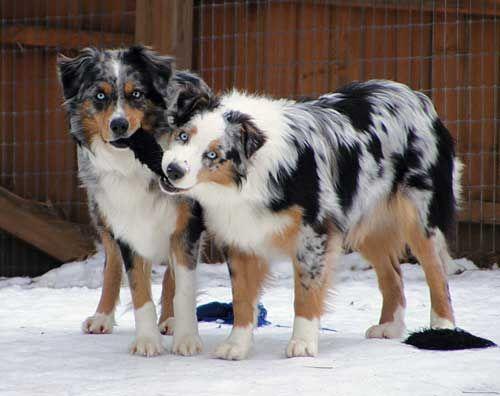 Australian Shepherd Dog Photo of the Day on Austrialian-Shepherd Lovers