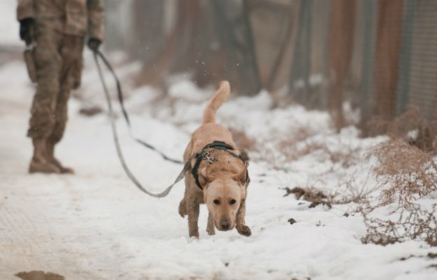 Rebecca's War Dog of the Week: Hunting for land mines in snowy Afghanistan