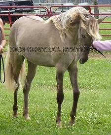 "Alliance's Clair De Lune is a yearling silver dapple smoky grulla Rocky Mountain/Kentucky Mountain Saddle Horse filly. ""Luna"" has THREE dilution genes ~ Cream, Silver, & Dun!!"
