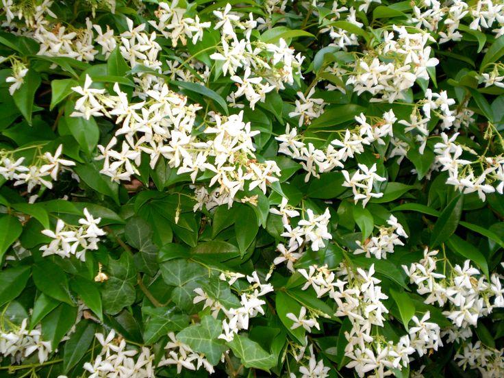 Gelsomino fiorito