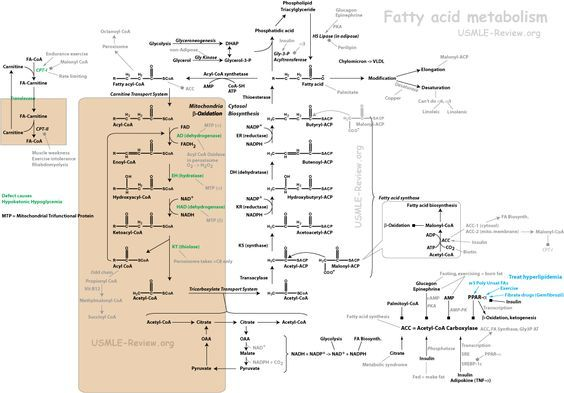 fatty acid metabolism, beta oxidation, biosynthesis