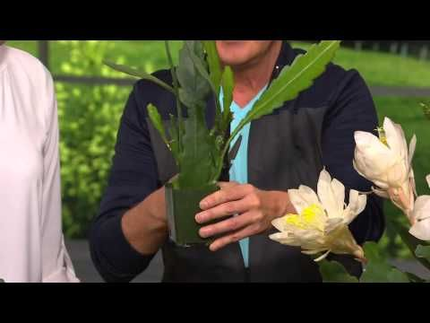 Roberta's 2 pc. Fragrant Prickly Free Orchid Cactus Collection with Rachel Boesing - YouTube