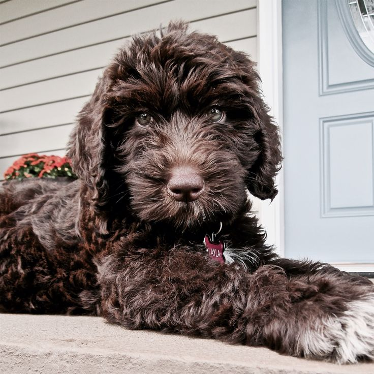 Layla! Our chocolate Labradoodle puppy!                                                                                                                                                                                 More