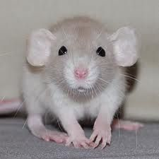 Can Dumbo Rats Eat Gerbil Food