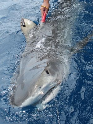 Shark trackers prepare for Gulf expedition