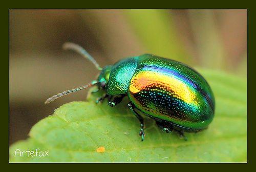 Escarabajo de las hojas - Dlochrysa fastuosa