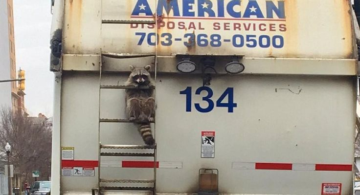 The World's Cutest Hitchhiker Is This Raccoon On A Garbage Truck