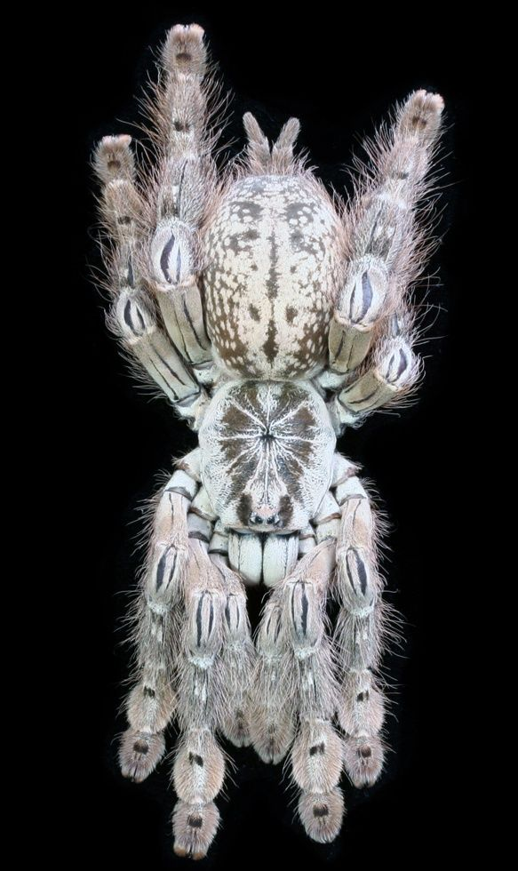 ˚West African Togo Starburst Baboon Spider, Heteroscodra maculata