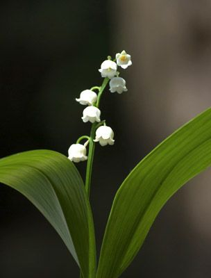 Gyöngyvirág - Convallaria majalis